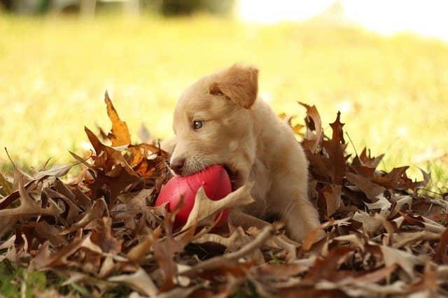 labrador-bladeren-bijt-speeltje
